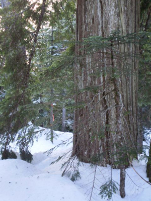 yellowcedar-d-ridge-2-low-res