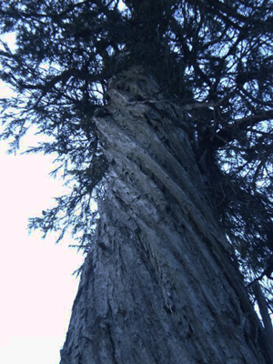 yellowcedar-d-ridge-low-res